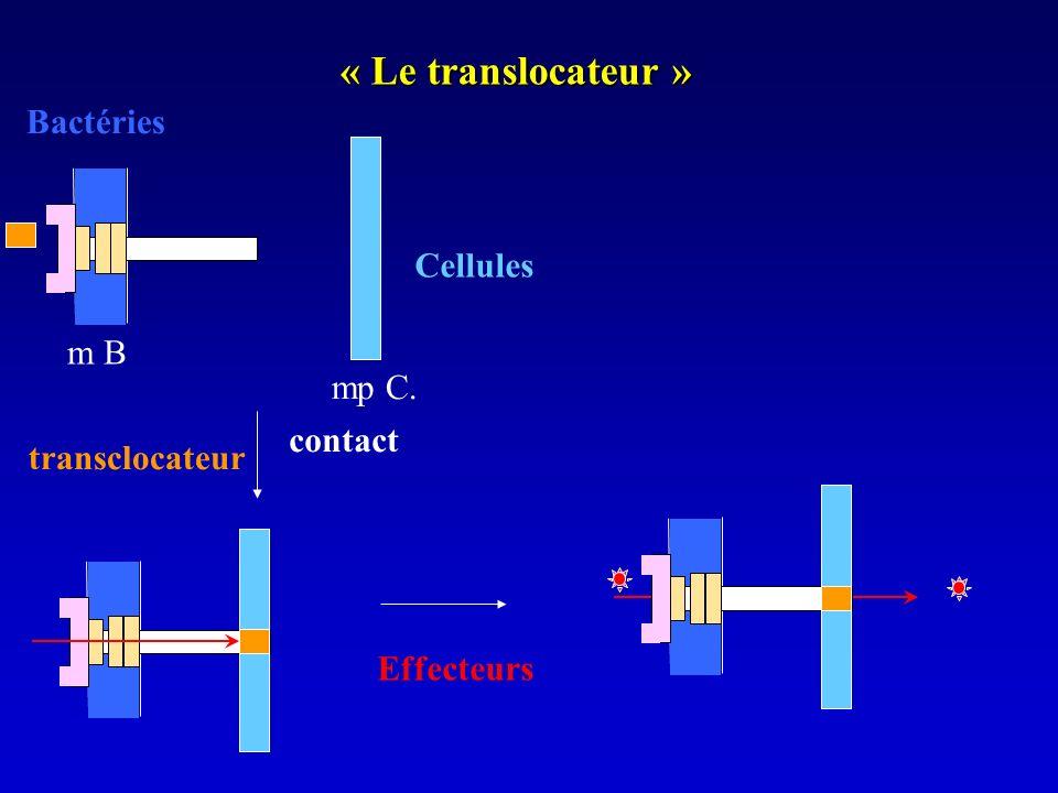 « Le translocateur » Bactéries Cellules m B mp C. contact