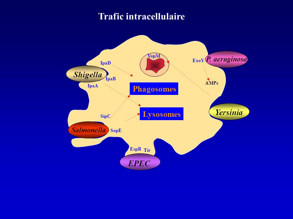 Trafic intracellulaire