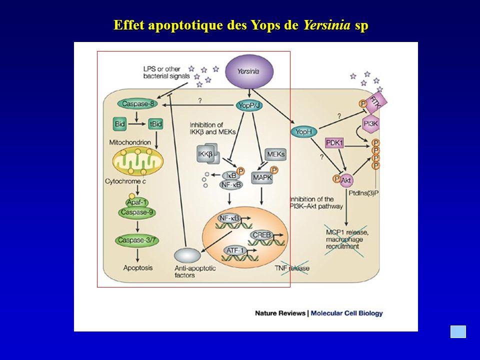 Effet apoptotique des Yops de Yersinia sp