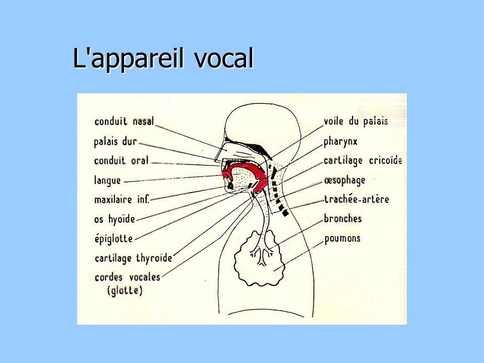 L appareil vocal