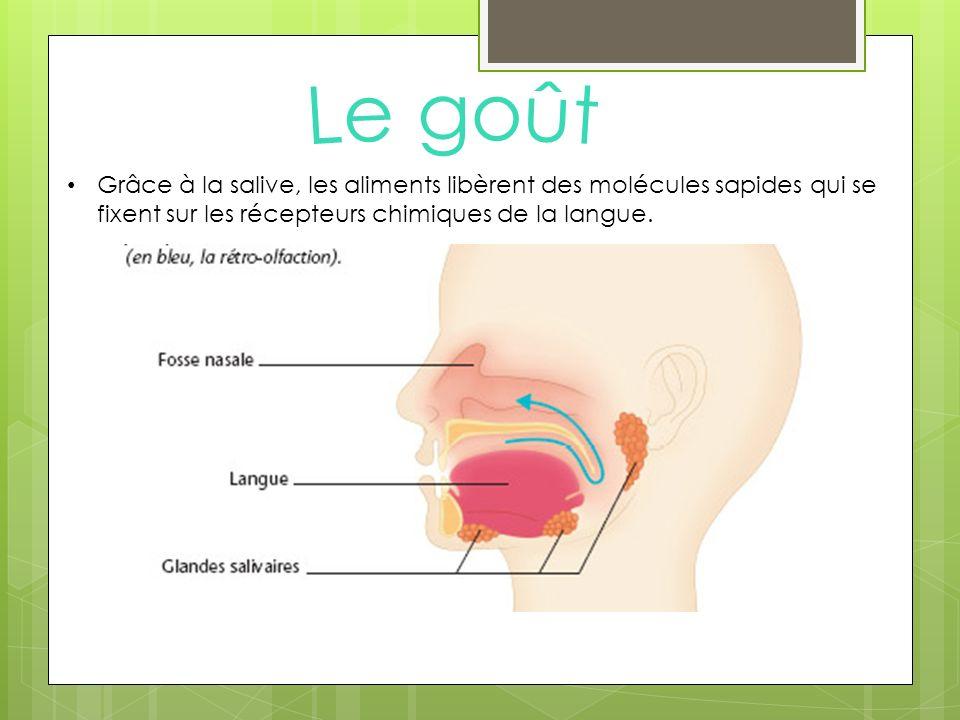 Le goût Grâce à la salive, les aliments libèrent des molécules sapides qui se fixent sur les récepteurs chimiques de la langue.