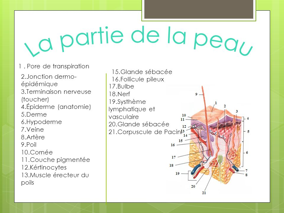 La partie de la peau 1 . Pore de transpiration 15.Glande sébacée