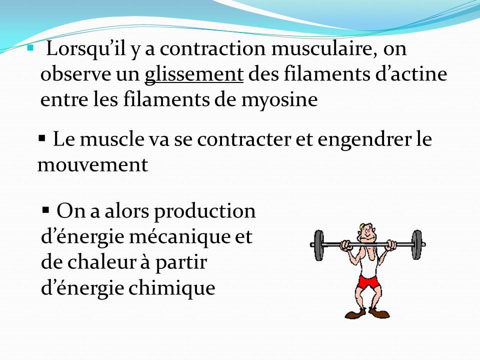 Lorsqu'il y a contraction musculaire, on observe un glissement des filaments d'actine entre les filaments de myosine