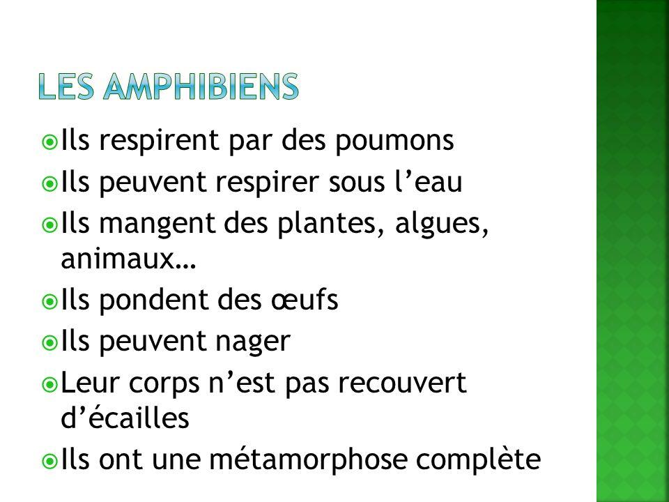 Les amphibiens Ils respirent par des poumons