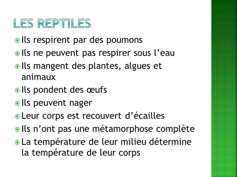 Les reptiles Ils respirent par des poumons