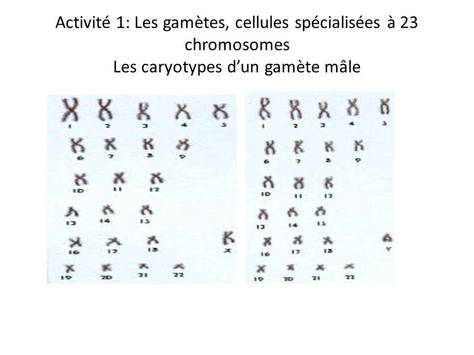Activité 1: Les gamètes, cellules spécialisées à 23 chromosomes Les caryotypes d'un gamète mâle