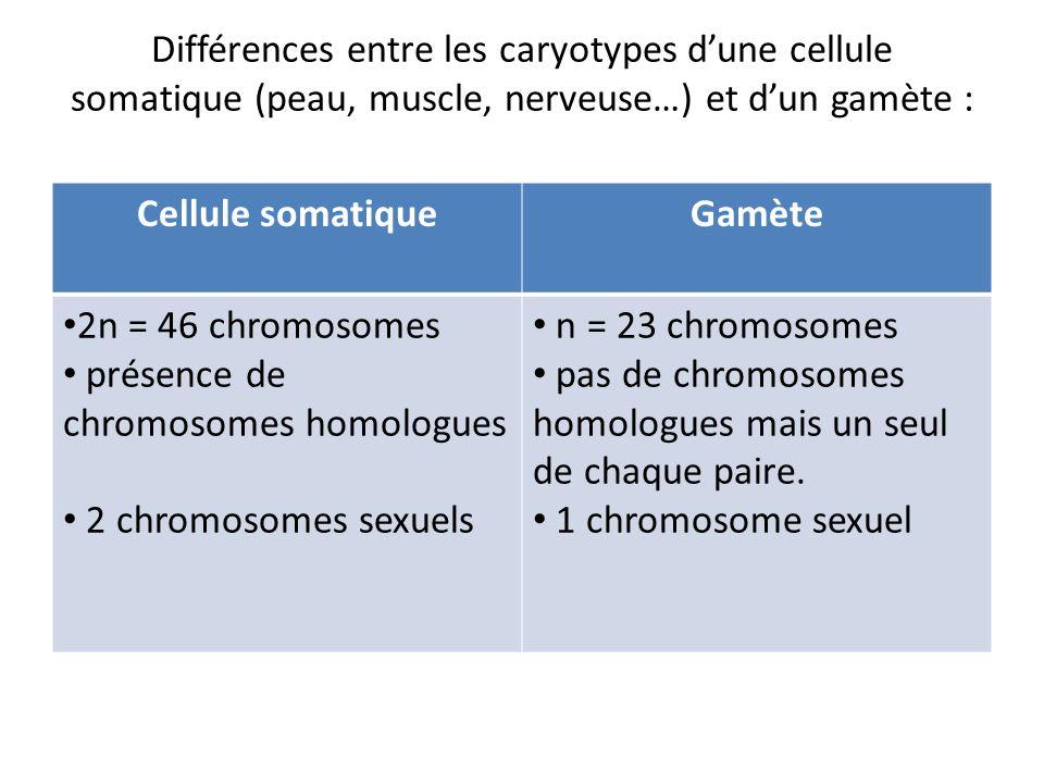 Différences entre les caryotypes d'une cellule somatique (peau, muscle, nerveuse…) et d'un gamète :