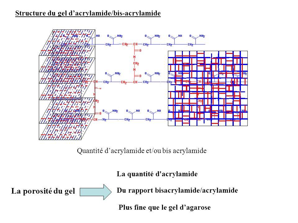 La porosité du gel Structure du gel d'acrylamide/bis-acrylamide