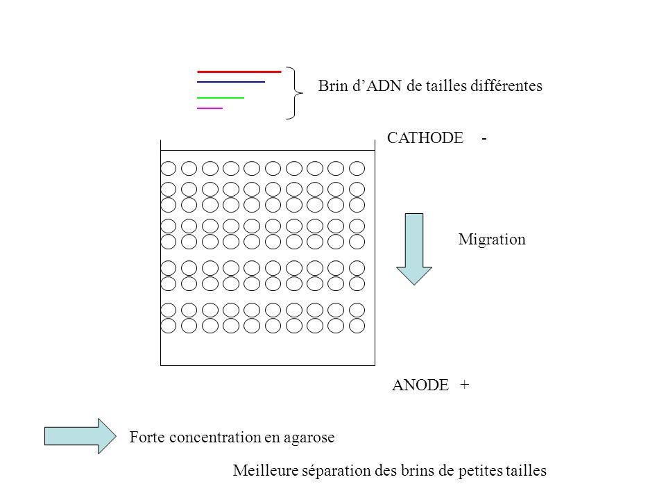 Brin d'ADN de tailles différentes