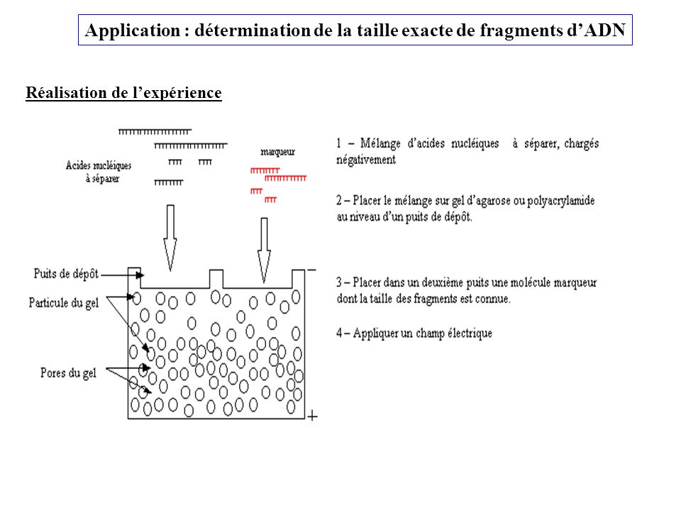 Application : détermination de la taille exacte de fragments d'ADN