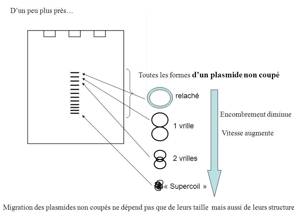 D'un peu plus près… Toutes les formes d'un plasmide non coupé. relaché. Encombrement diminue. 1 vrille.
