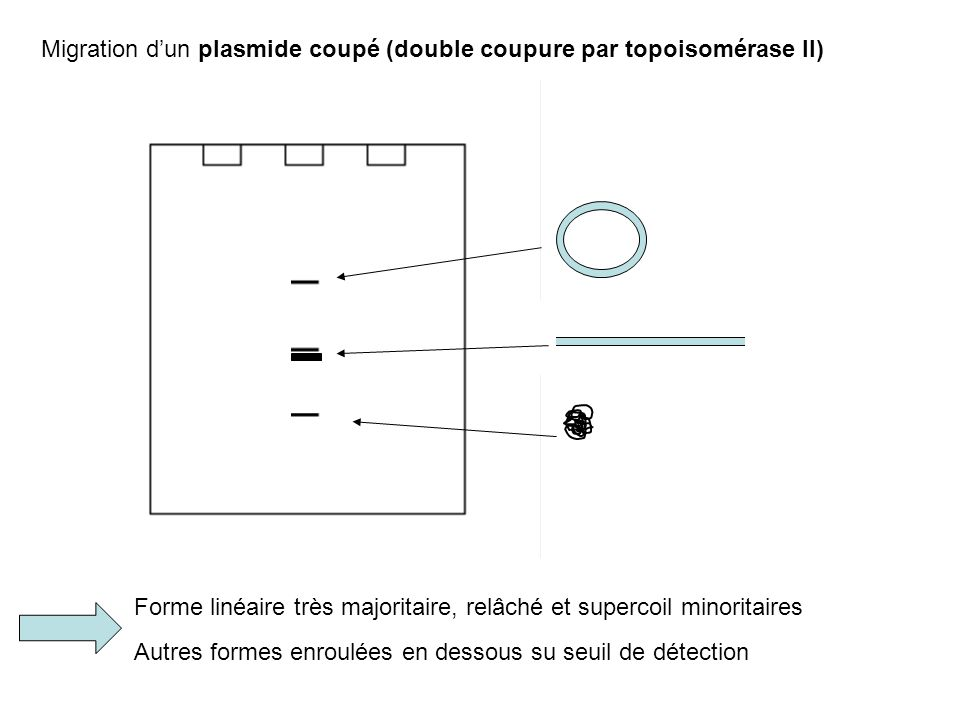 Migration d'un plasmide coupé (double coupure par topoisomérase II)
