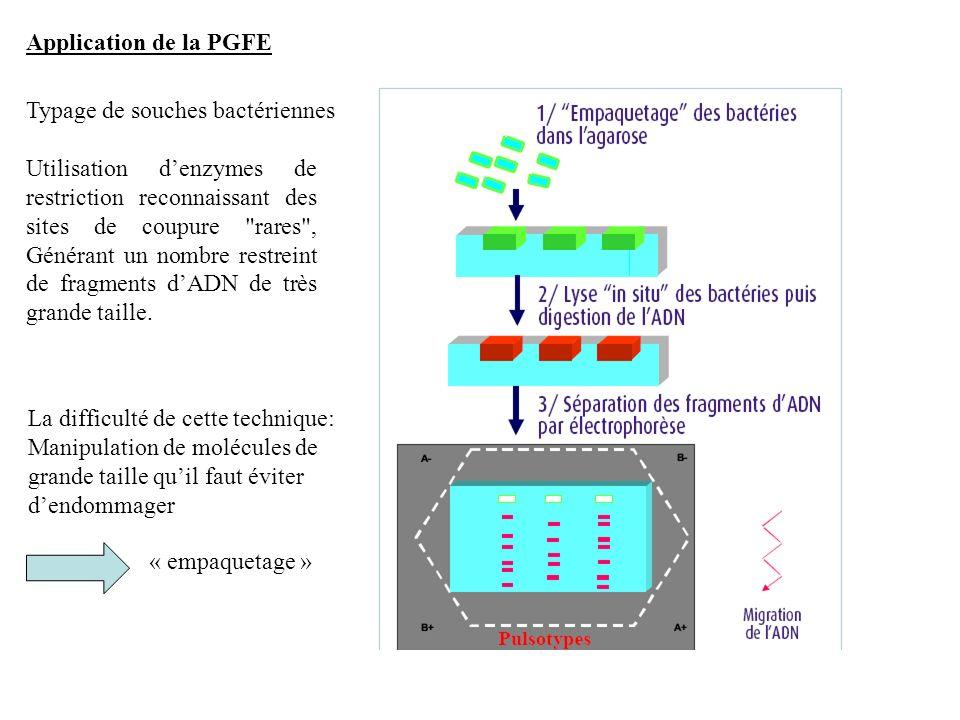 Application de la PGFE Typage de souches bactériennes.