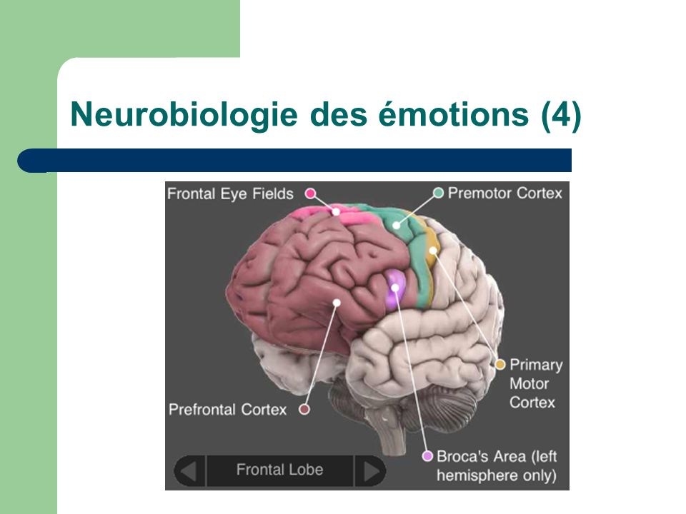 Neurobiologie des émotions (4)