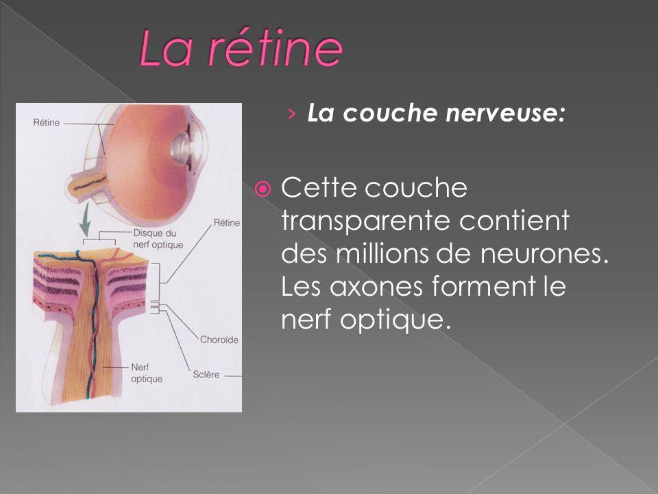 La rétine La couche nerveuse: Cette couche transparente contient des millions de neurones.