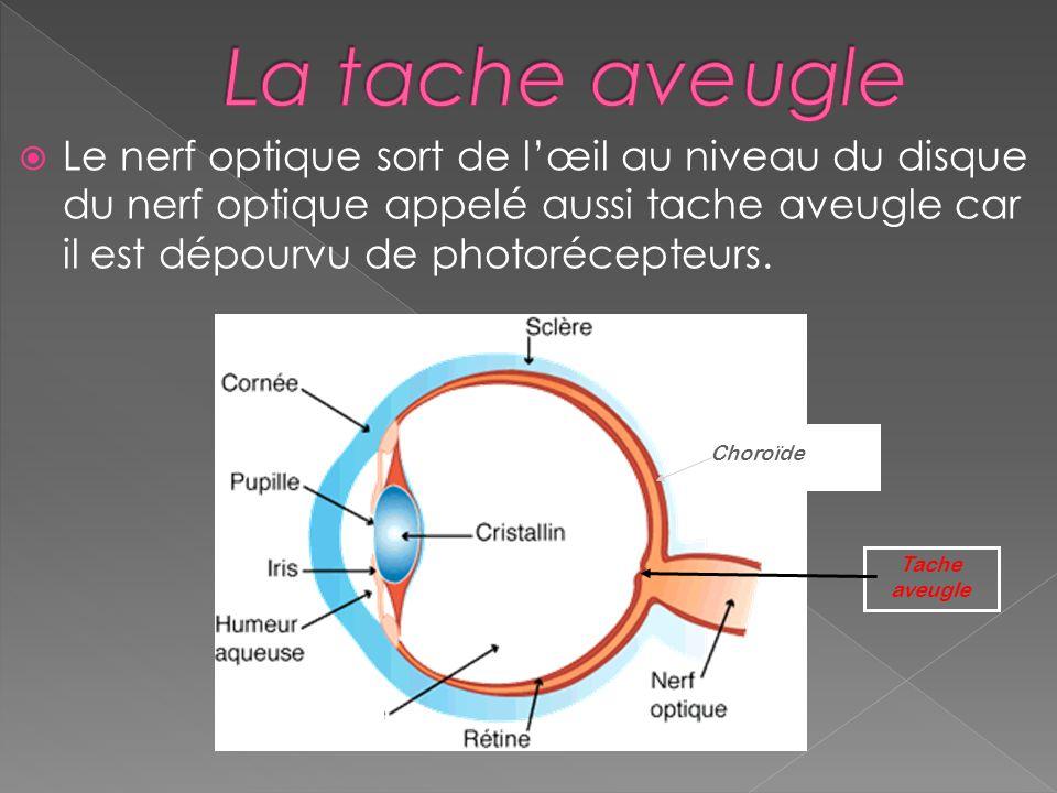 La tache aveugle Le nerf optique sort de l'œil au niveau du disque du nerf optique appelé aussi tache aveugle car il est dépourvu de photorécepteurs.