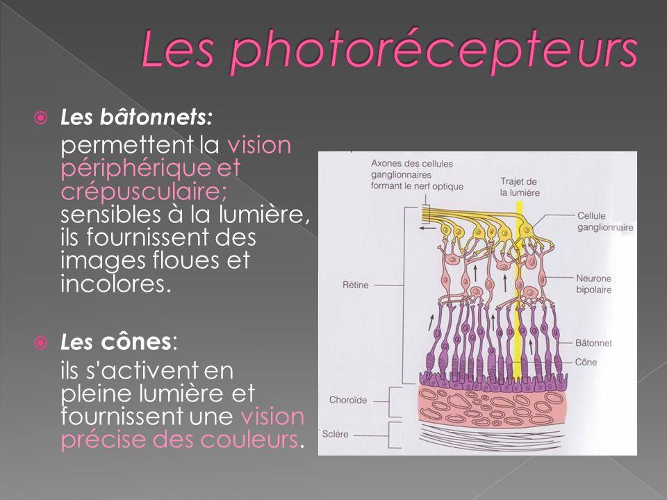 Les photorécepteurs Les bâtonnets: