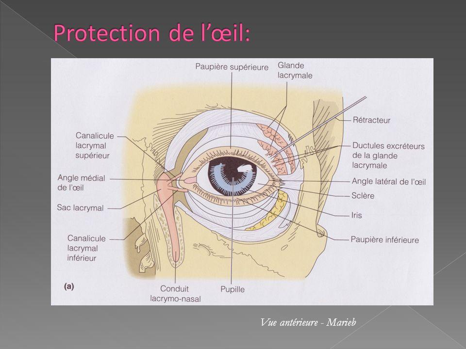 Protection de l'œil: Vue antérieure - Marieb