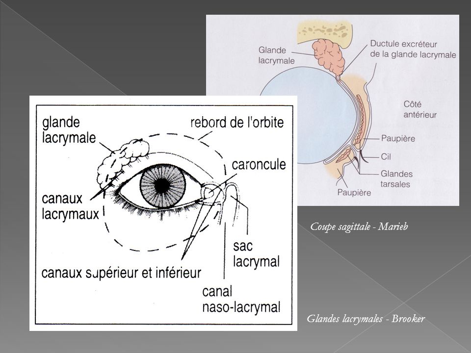 Coupe sagittale - Marieb
