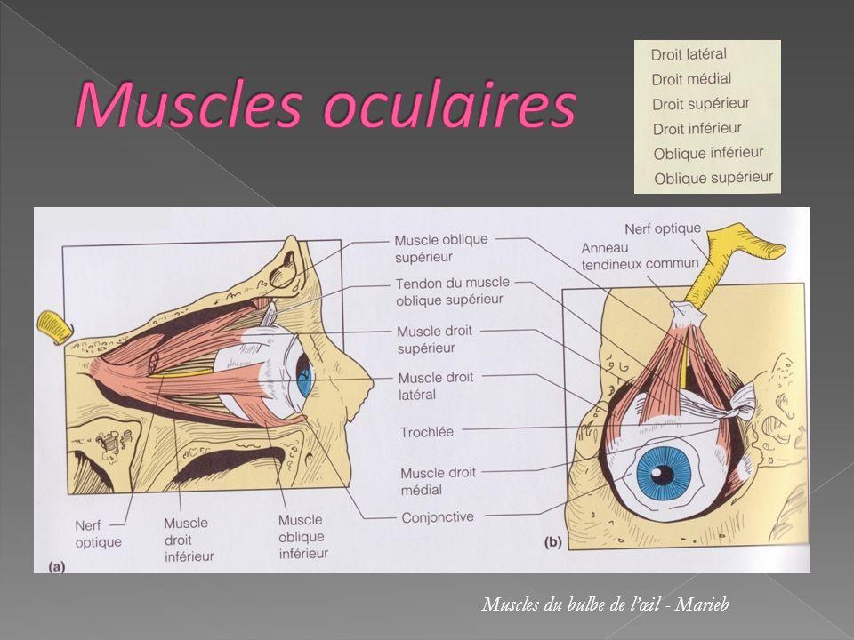 Muscles oculaires Muscles du bulbe de l'œil - Marieb