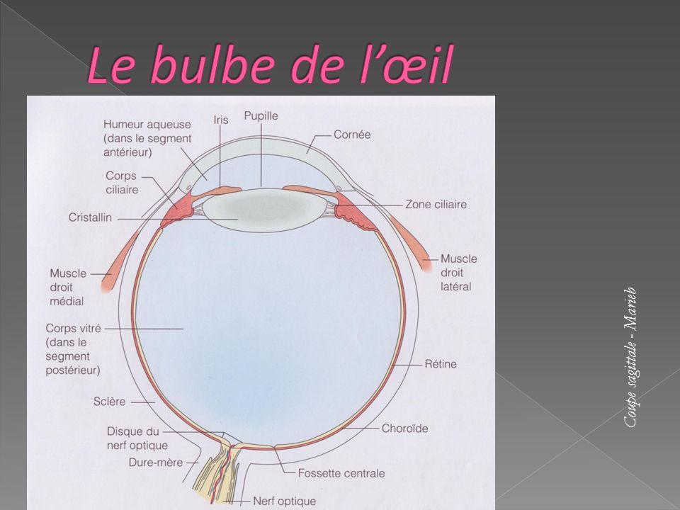 Le bulbe de l'œil Coupe sagittale - Marieb