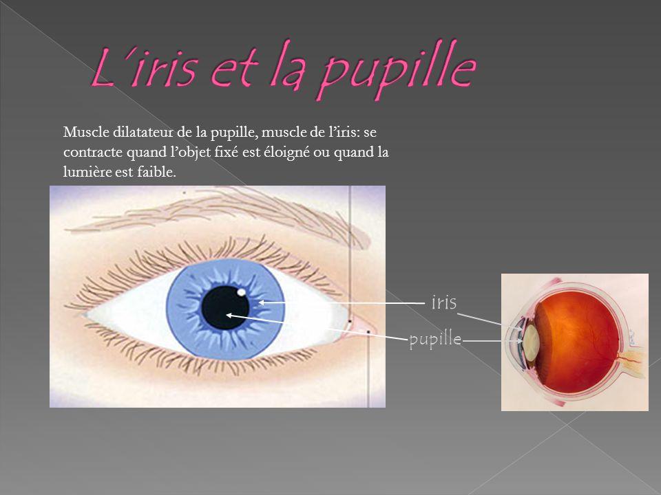 L'iris et la pupille iris pupille