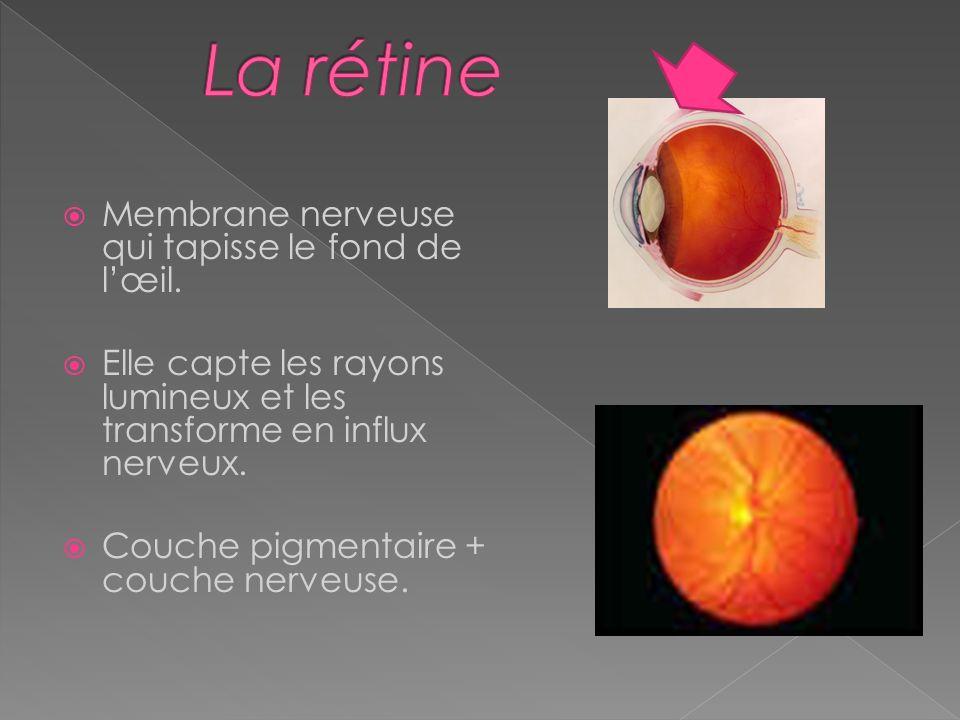 La rétine Membrane nerveuse qui tapisse le fond de l'œil.