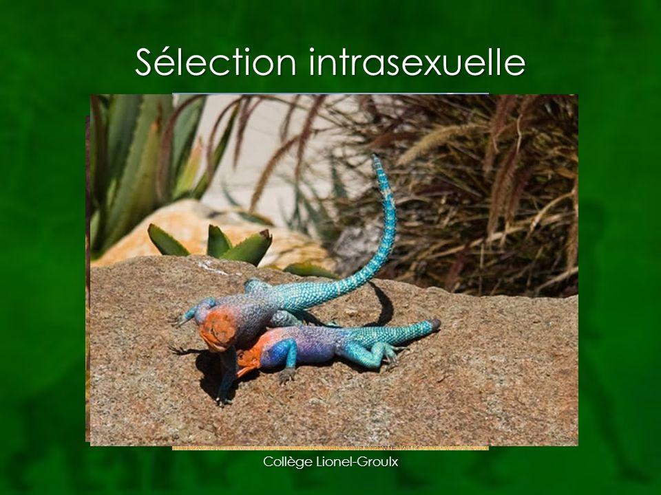 Sélection intrasexuelle