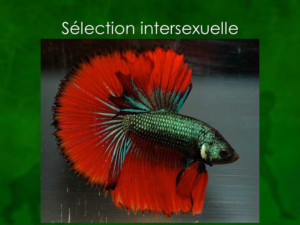 Sélection intersexuelle