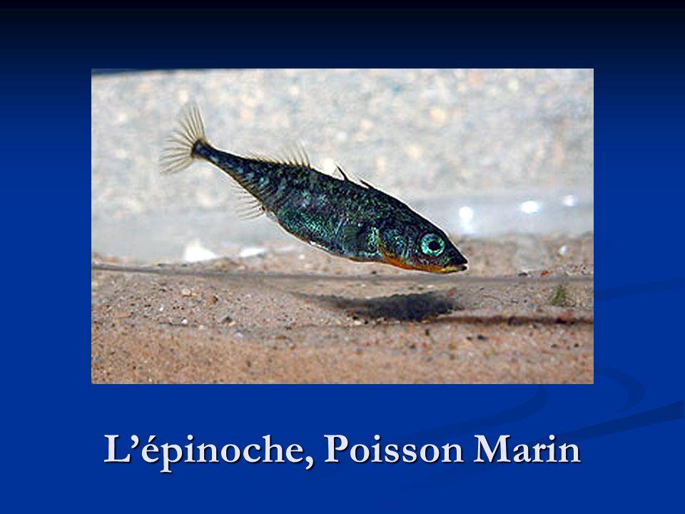 L'épinoche, Poisson Marin