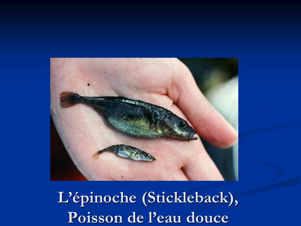 L'épinoche (Stickleback), Poisson de l'eau douce