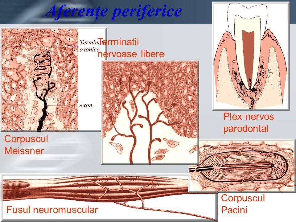 Aferenţe periferice Terminatii nervoase libere Plex nervos parodontal