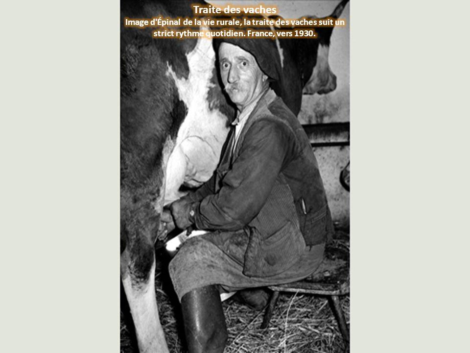 Traite des vaches Image d Épinal de la vie rurale, la traite des vaches suit un strict rythme quotidien.