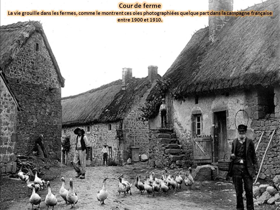 Cour de ferme La vie grouille dans les fermes, comme le montrent ces oies photographiées quelque part dans la campagne française entre 1900 et 1910.
