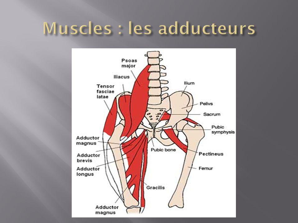 Muscles : les adducteurs