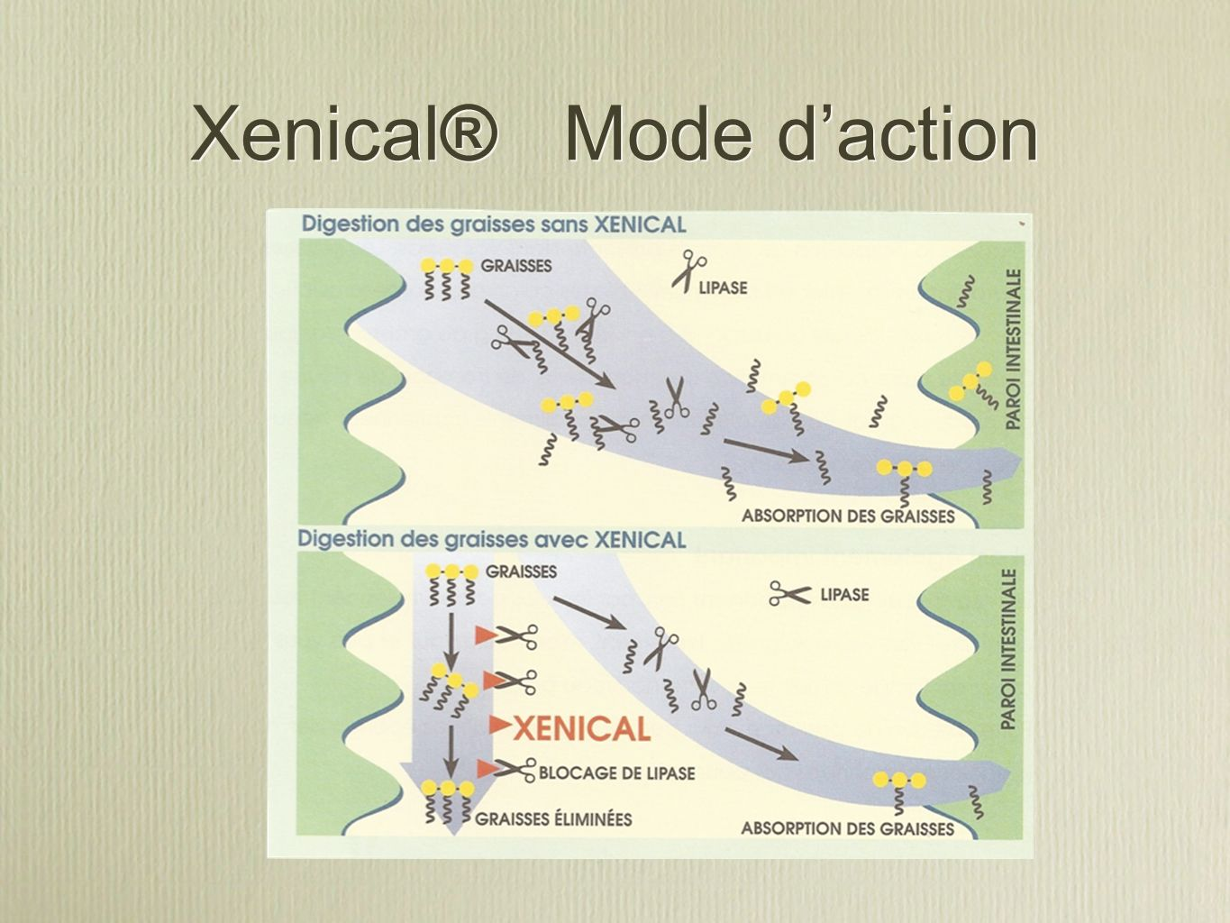 Xenical® Mode d'action