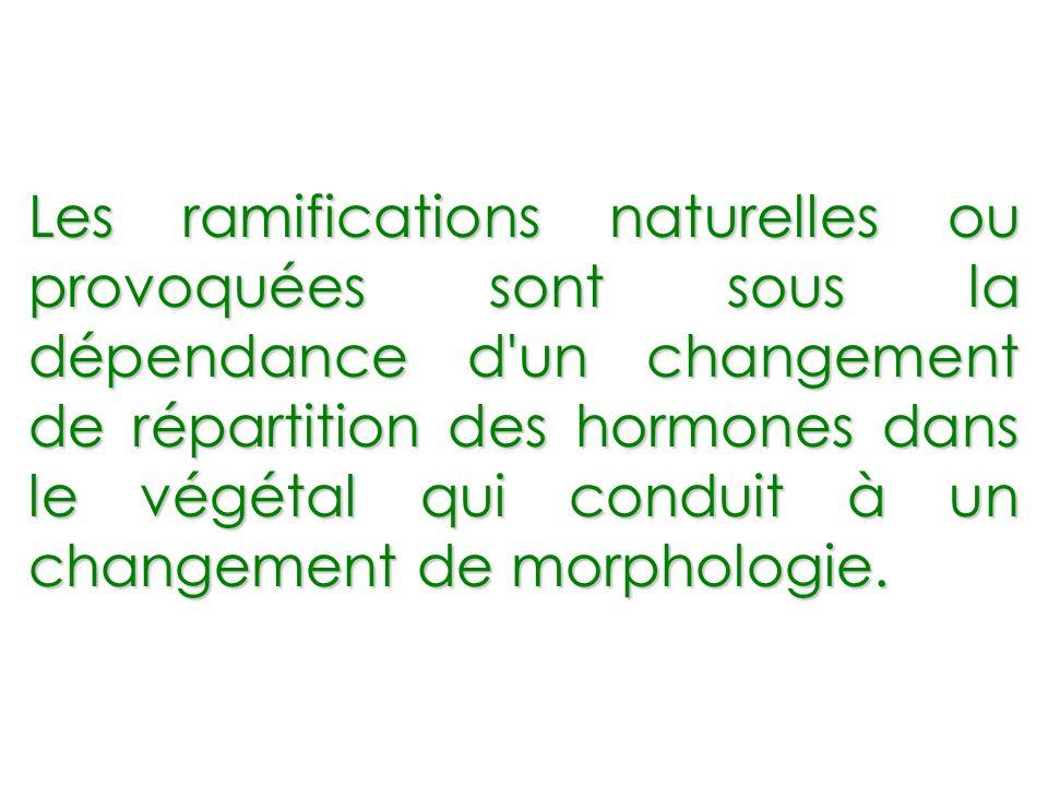 Les ramifications naturelles ou provoquées sont sous la dépendance d un changement de répartition des hormones dans le végétal qui conduit à un changement de morphologie.