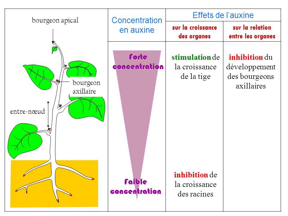 Concentration en auxine Effets de l'auxine