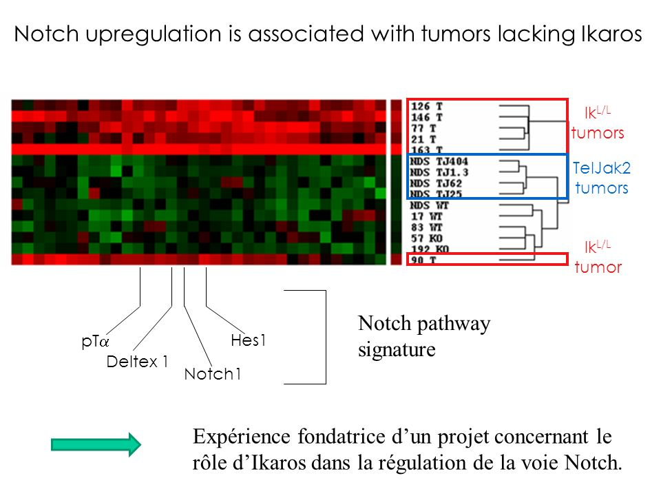 Notch upregulation is associated with tumors lacking Ikaros