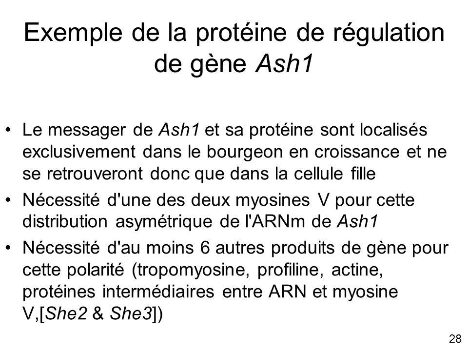 Exemple de la protéine de régulation de gène Ash1