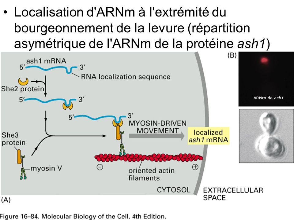 Mercredi 21 novembre 2007 Localisation d ARNm à l extrémité du bourgeonnement de la levure (répartition asymétrique de l ARNm de la protéine ash1)