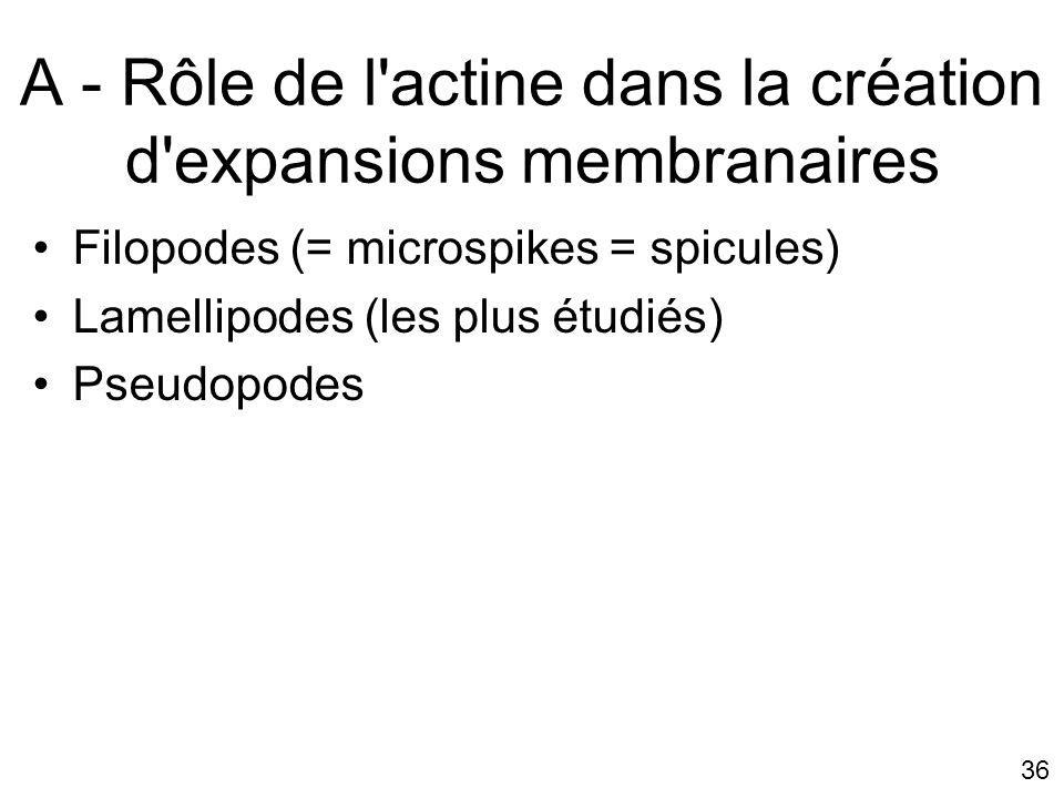 A - Rôle de l actine dans la création d expansions membranaires