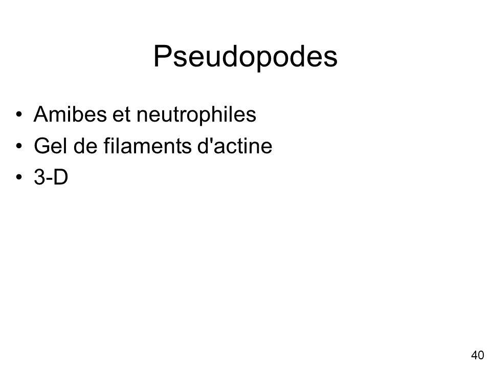 Pseudopodes Amibes et neutrophiles Gel de filaments d actine 3-D