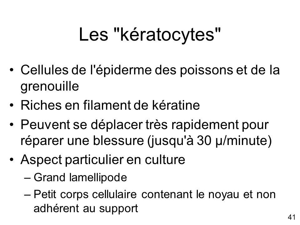 Mercredi 21 novembre 2007 Les kératocytes Cellules de l épiderme des poissons et de la grenouille.