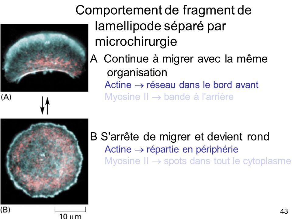 Comportement de fragment de lamellipode séparé par microchirurgie
