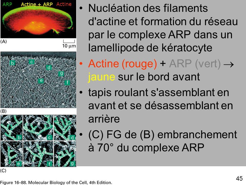 ARP Actine + ARP. Actine. Nucléation des filaments d actine et formation du réseau par le complexe ARP dans un lamellipode de kératocyte.