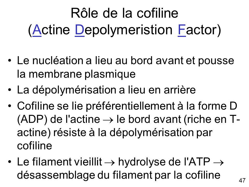 Rôle de la cofiline (Actine Depolymeristion Factor)