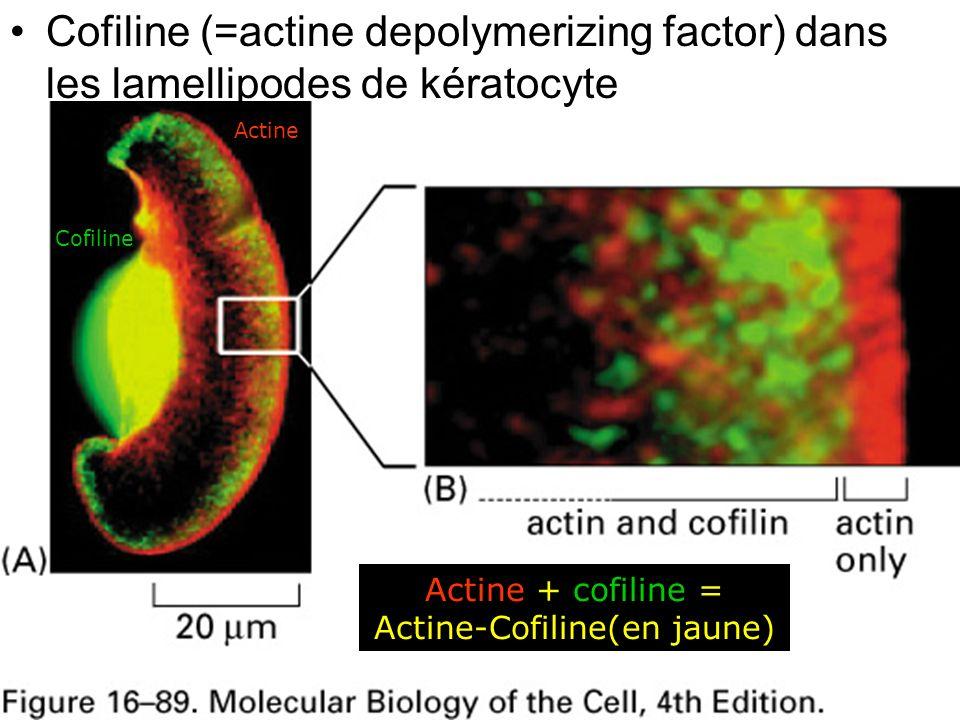 Actine + cofiline = Actine-Cofiline(en jaune)