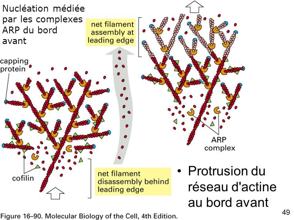 Fig 16-90 Protrusion du réseau d actine au bord avant #4p974