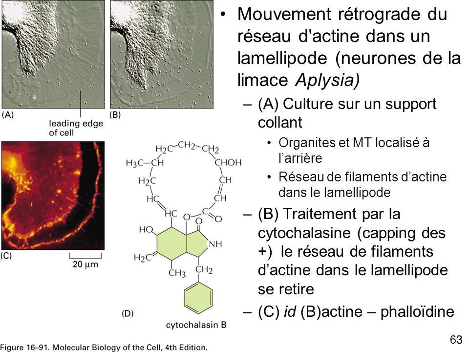 Mercredi 21 novembre 2007 Mouvement rétrograde du réseau d actine dans un lamellipode (neurones de la limace Aplysia)